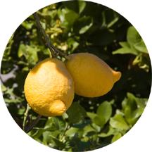 Lemon boobies