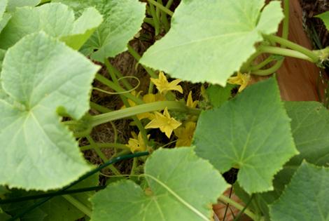 9cucumbers